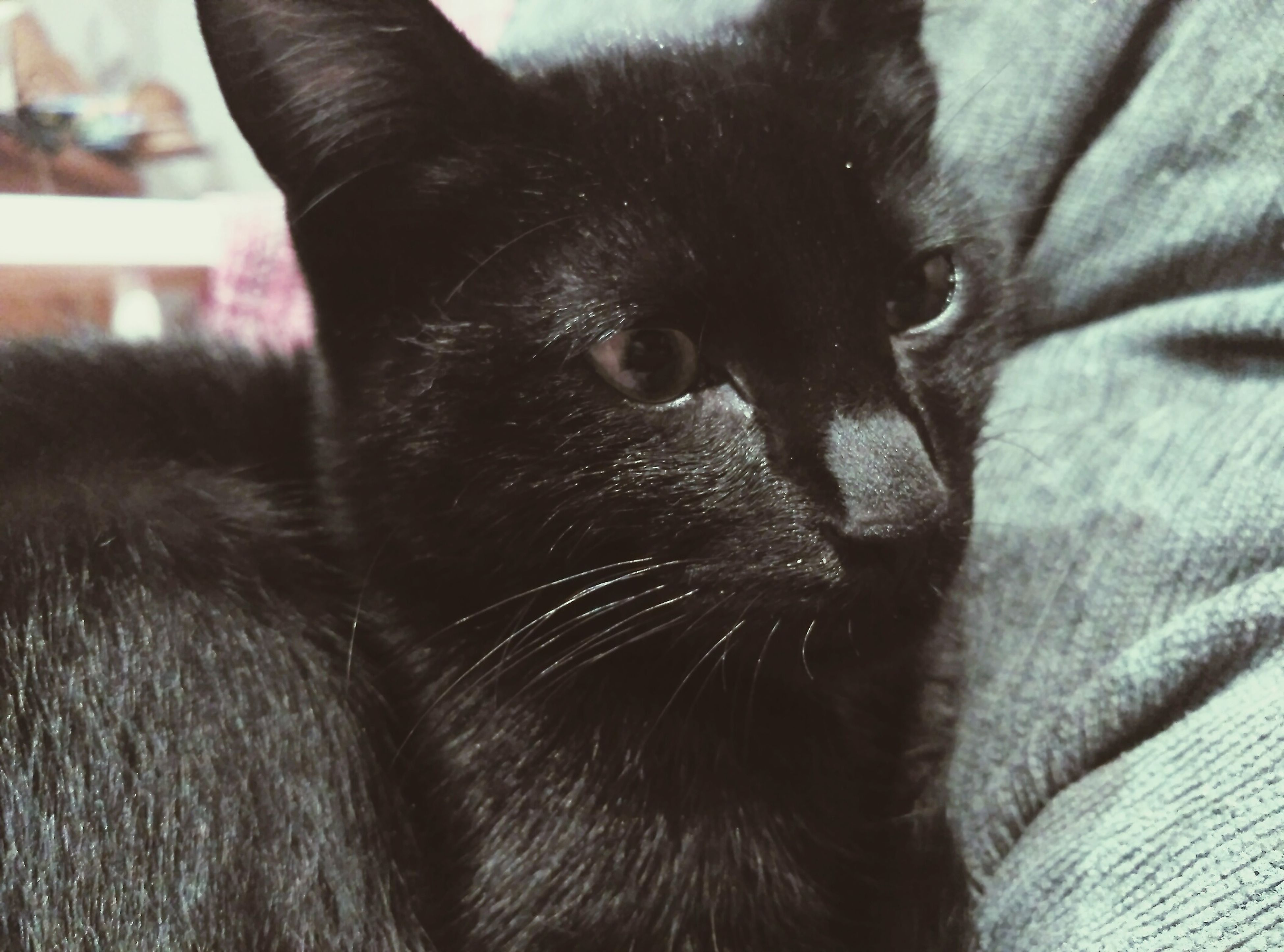 pets, domestic animals, animal themes, one animal, mammal, indoors, domestic cat, cat, feline, close-up, relaxation, whisker, black color, animal head, resting, bed, animal body part, home interior, lying down, no people