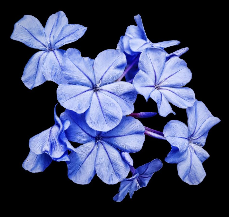 Floral Blue Plumbago Bloom Flower Blossom Botanical Garden Flowers,Plants & Garden