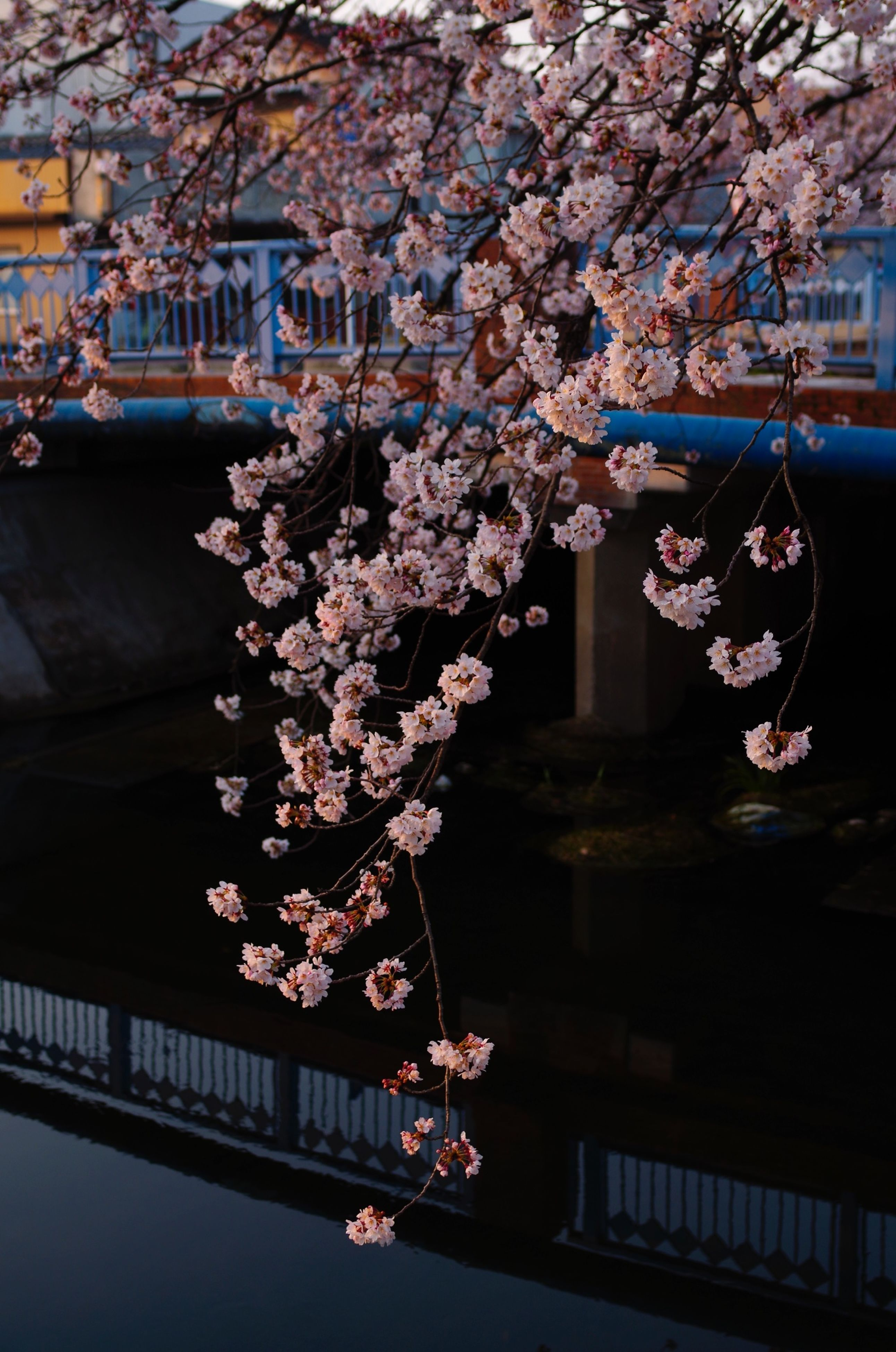 architecture, flower, building exterior, built structure, tree, branch, city, pink color, cherry blossom, railing, decoration, outdoors, building, day, blossom, cherry tree, city life, hanging, freshness