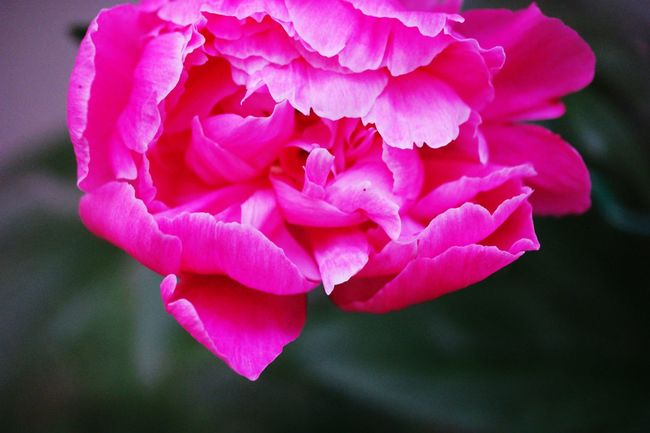 Blossoming Fresh & Bright Garden_world Blossoming  Macro_flower Garden Flowers In Bloom Flowers, Nature And Beauty Macro Nature Roses Rose Petals Rose🌹 Blossoming Flower Blossom, Macro Pink Flower Pink Rose