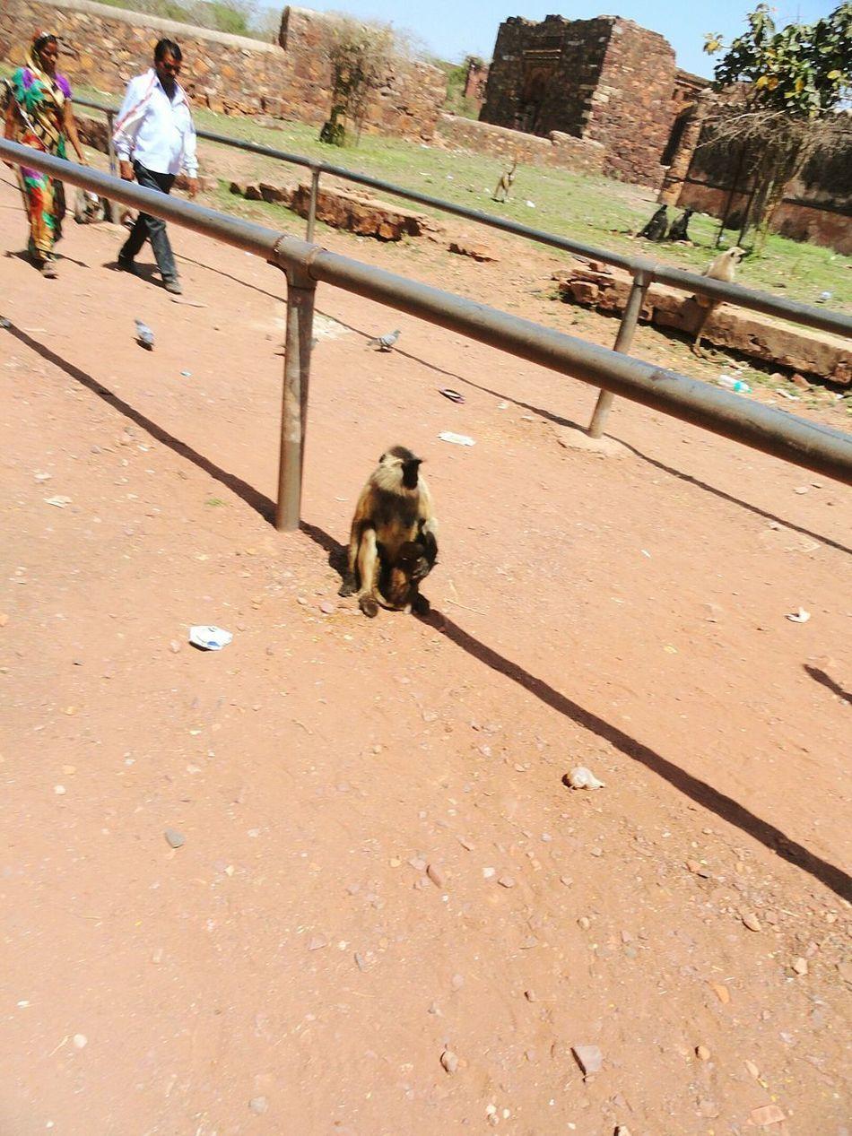 Original Ranthambore India Monkey Langur Ranthambore Fort Shelter