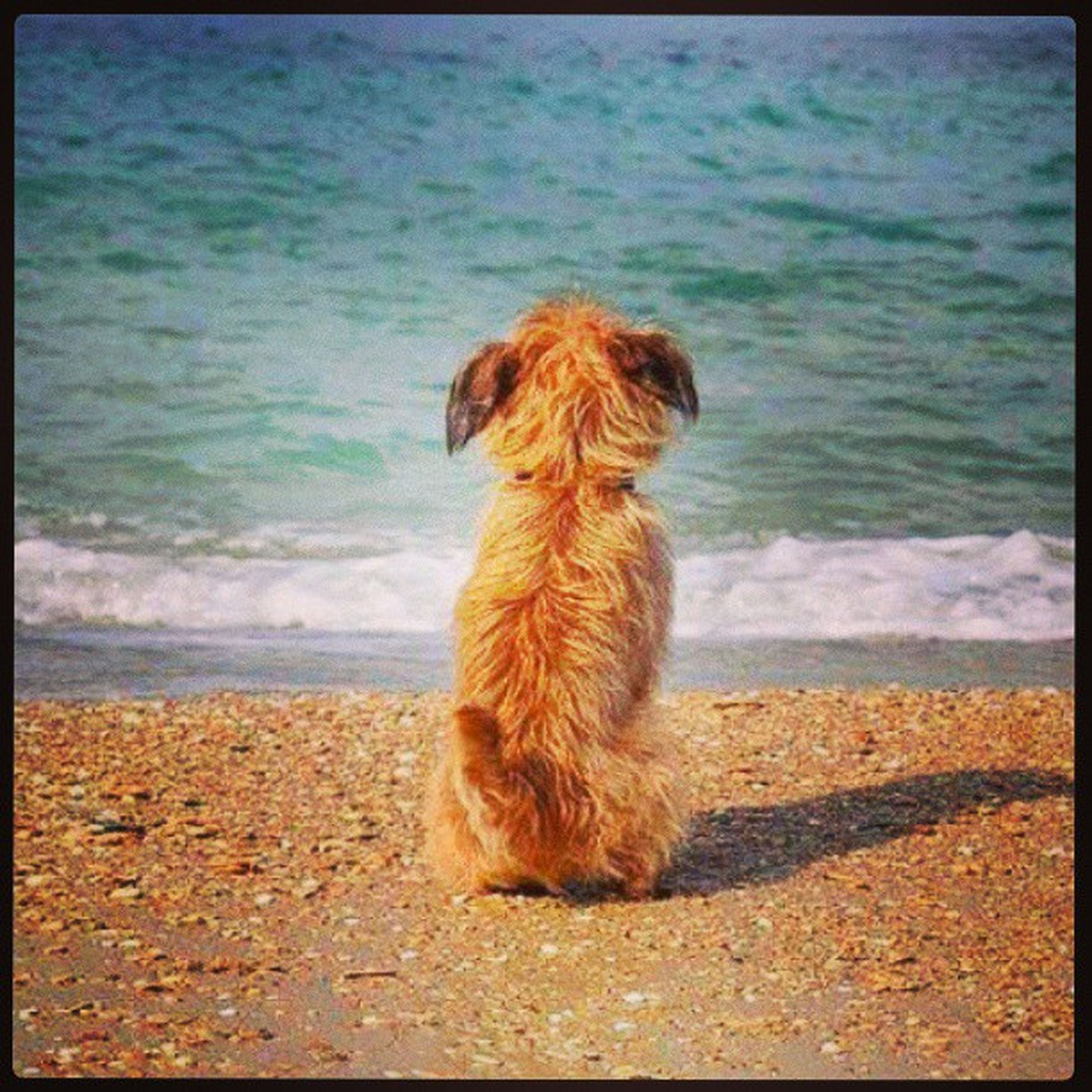 one animal, domestic animals, pets, dog, mammal, animal themes, water, sea, beach, shore, transfer print, auto post production filter, sand, sitting, full length, horizon over water, relaxation, nature, rear view, animal hair