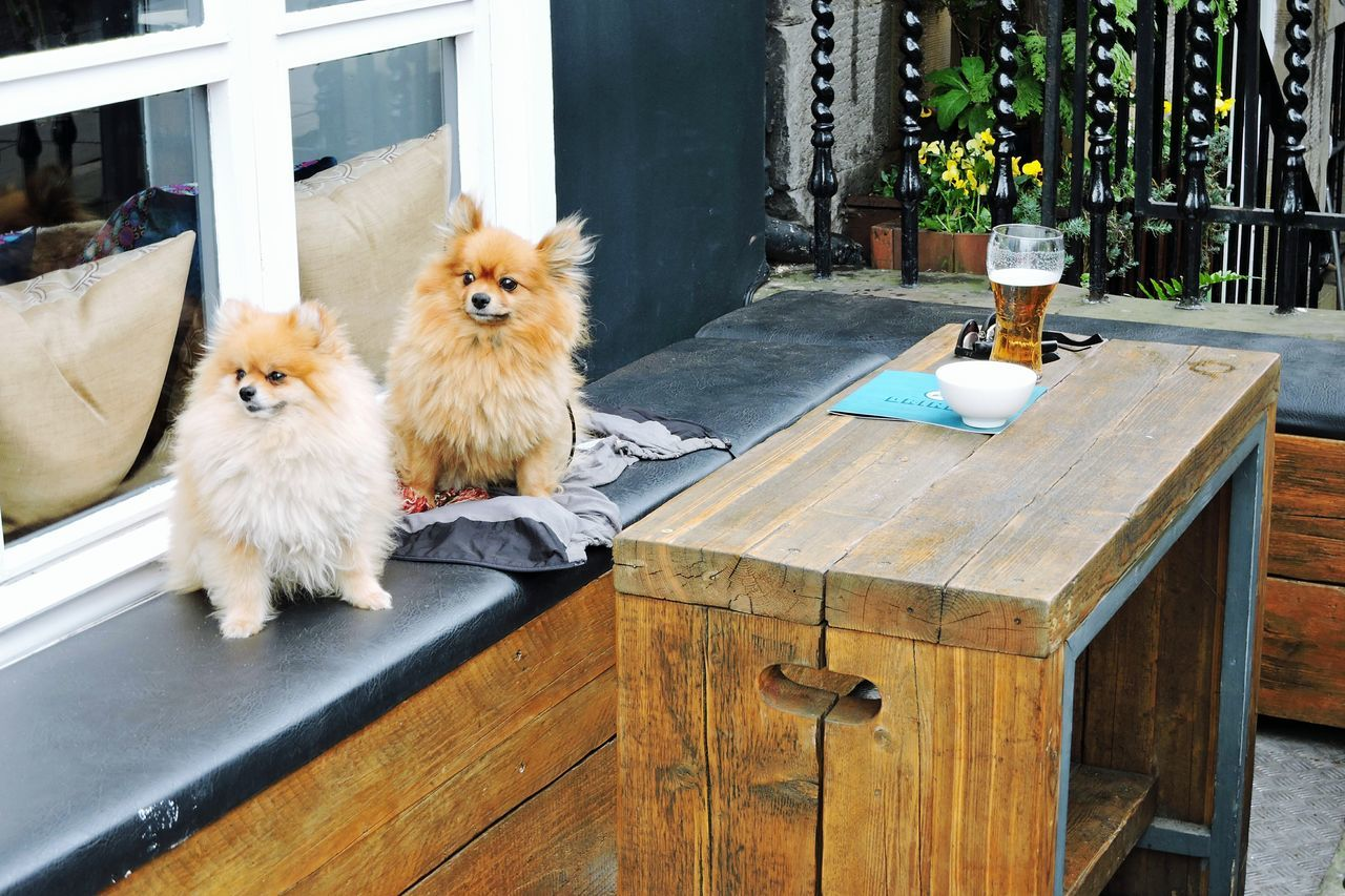 Pomeranians. Edinburgh, Scotland. Pomeranian Dogs Cafe Edinburgh Scotland Restaurant Beer Outdoor Outdoor Seating Table Bar Pub Snacks Local Buisness Pet Friendly  Slow Living Relaxing Urban Vacation Scottish Lifestyle Evening Springtime