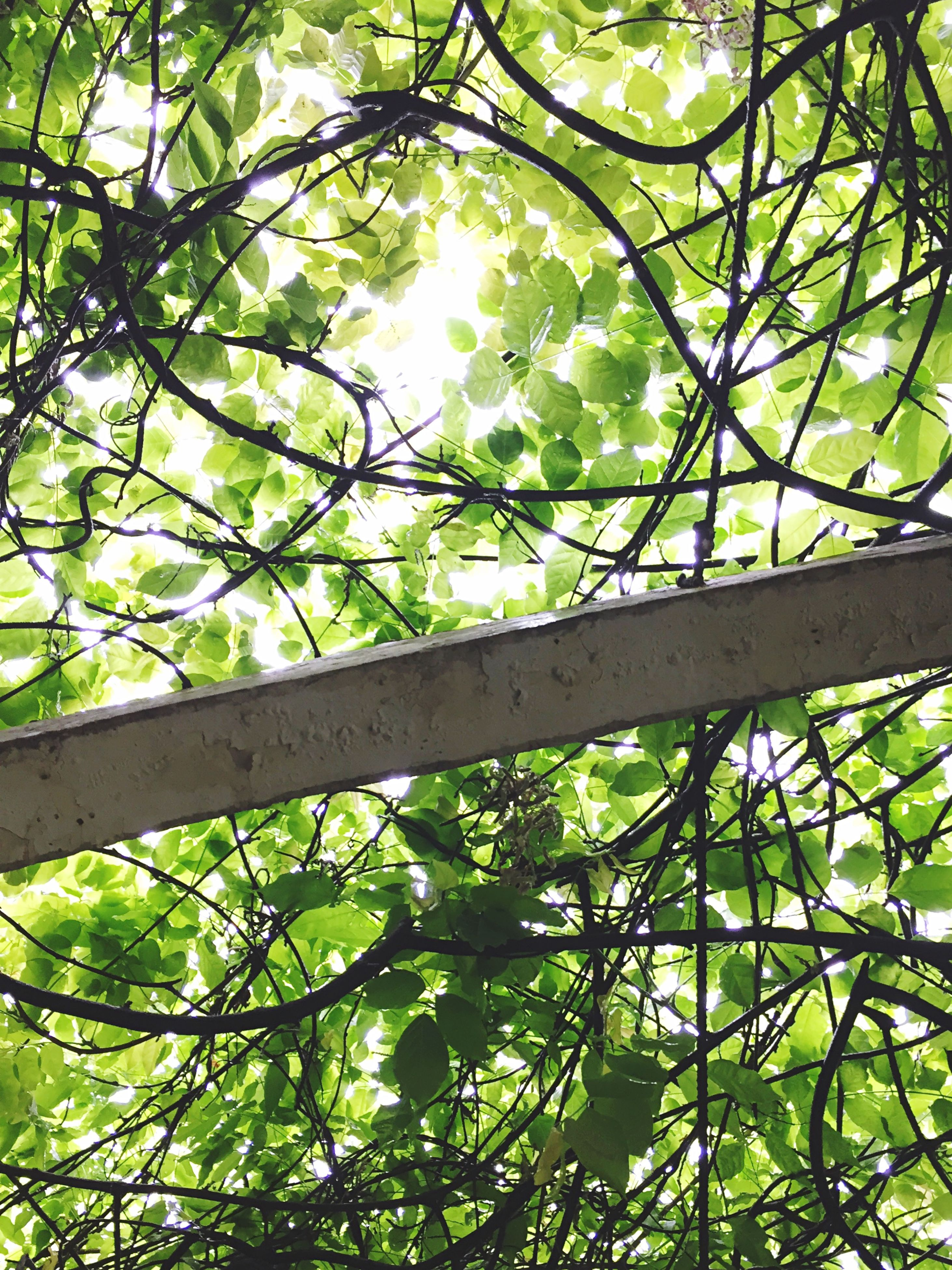 tree, low angle view, branch, growth, green color, leaf, nature, day, beauty in nature, lush foliage, tranquility, outdoors, no people, sky, green, tree trunk, sunlight, directly below, clear sky, backgrounds