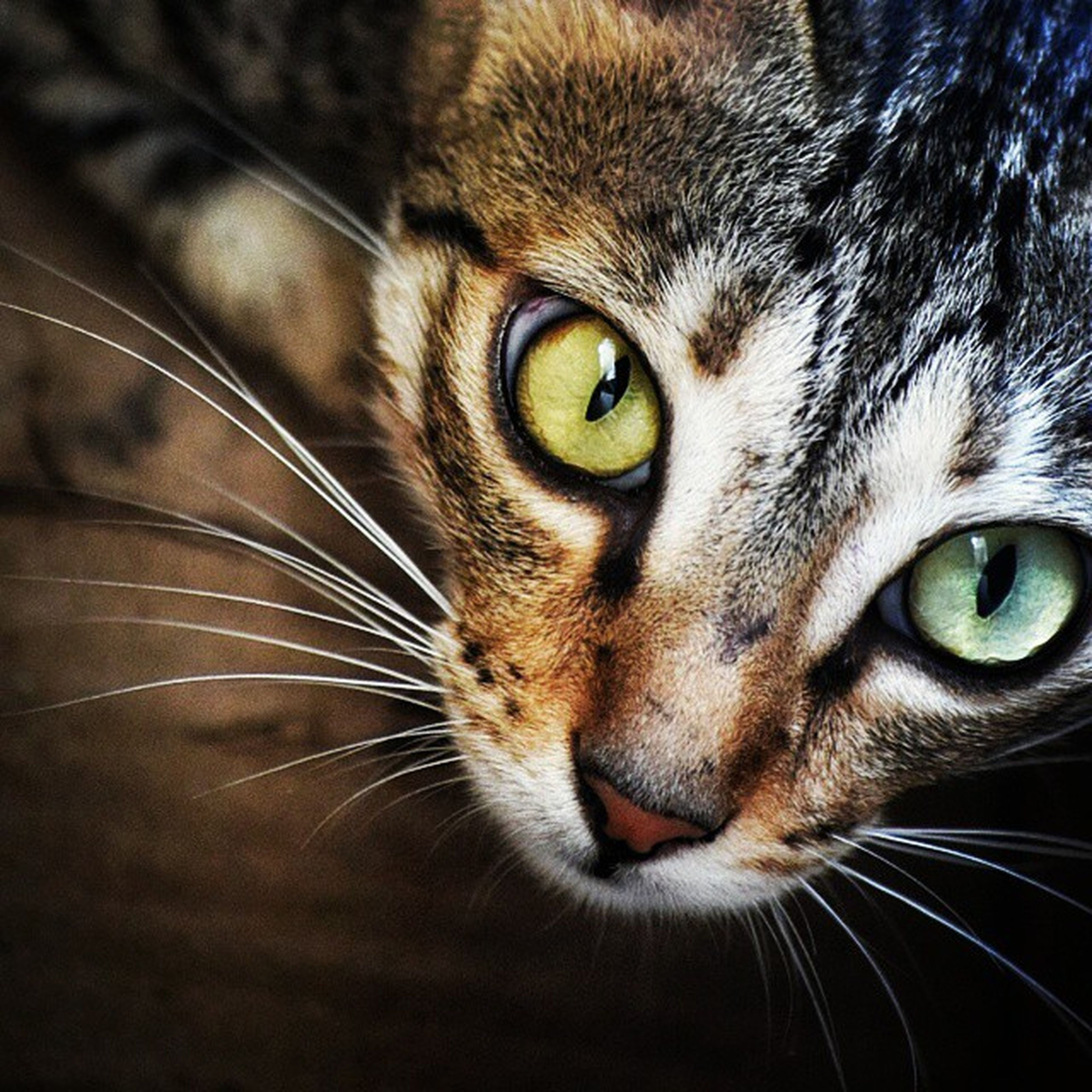 domestic cat, one animal, cat, animal themes, pets, feline, domestic animals, whisker, mammal, animal head, close-up, animal eye, portrait, indoors, looking at camera, animal body part, staring, alertness, front view, snout