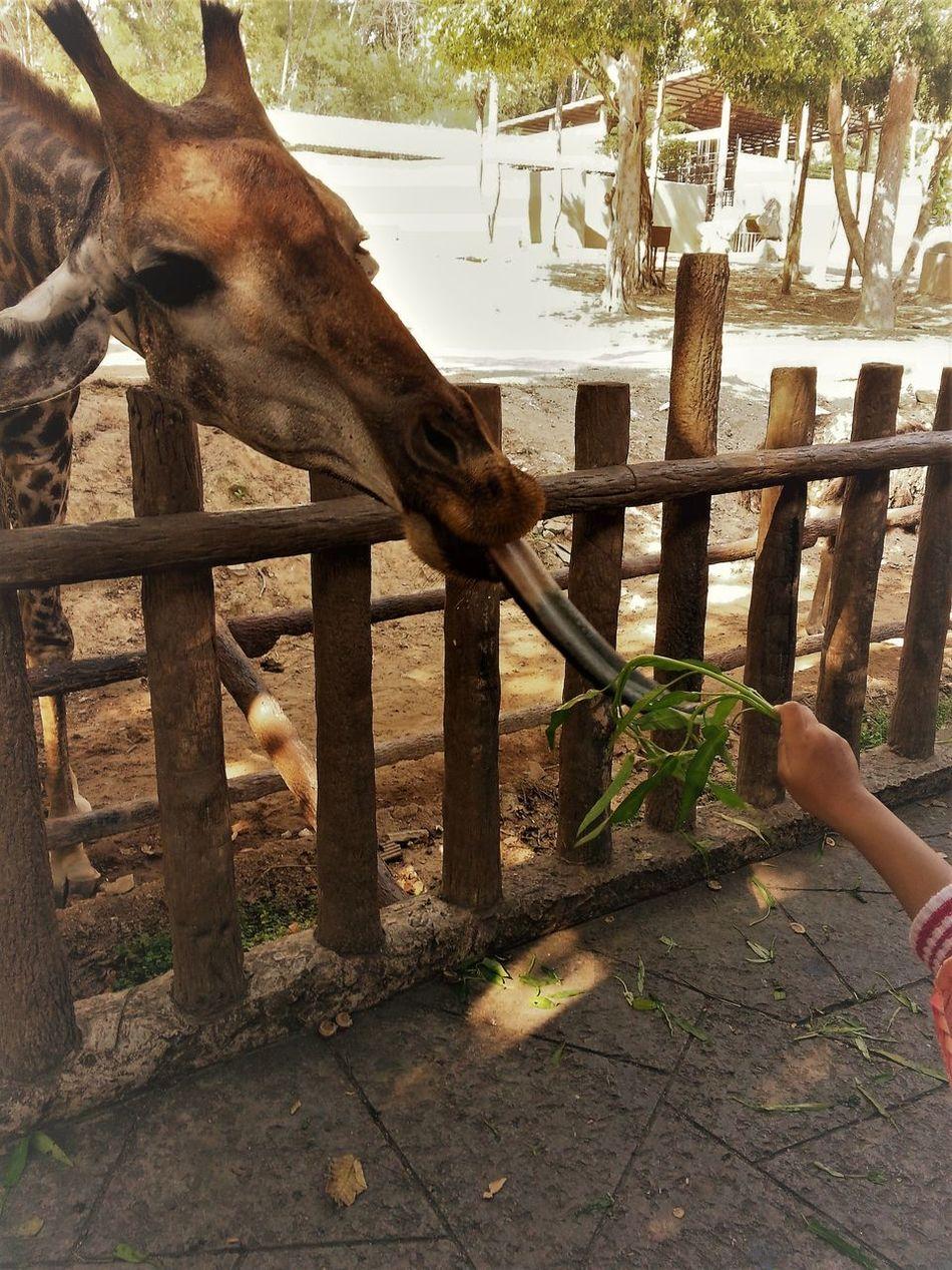 Animal Themes Chaingmaithailand Chiangmai Zoo EyeEm Gallery EyeEm Nature Lover Eyeemthailand Feeding Animals Giraffe North Outdoors Zoo