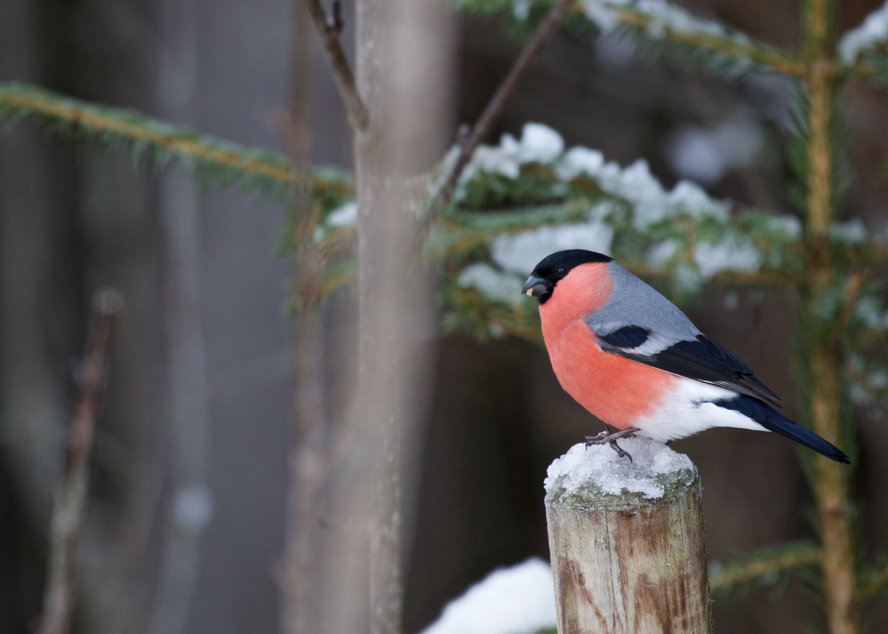 In Norway Animal Themes Animal Wildlife Animals In The Wild Beauty In Nature Bird Close-up Day Eurasian Bullfinch Focus On Foreground Nature No People One Animal Outdoors Perching Winter