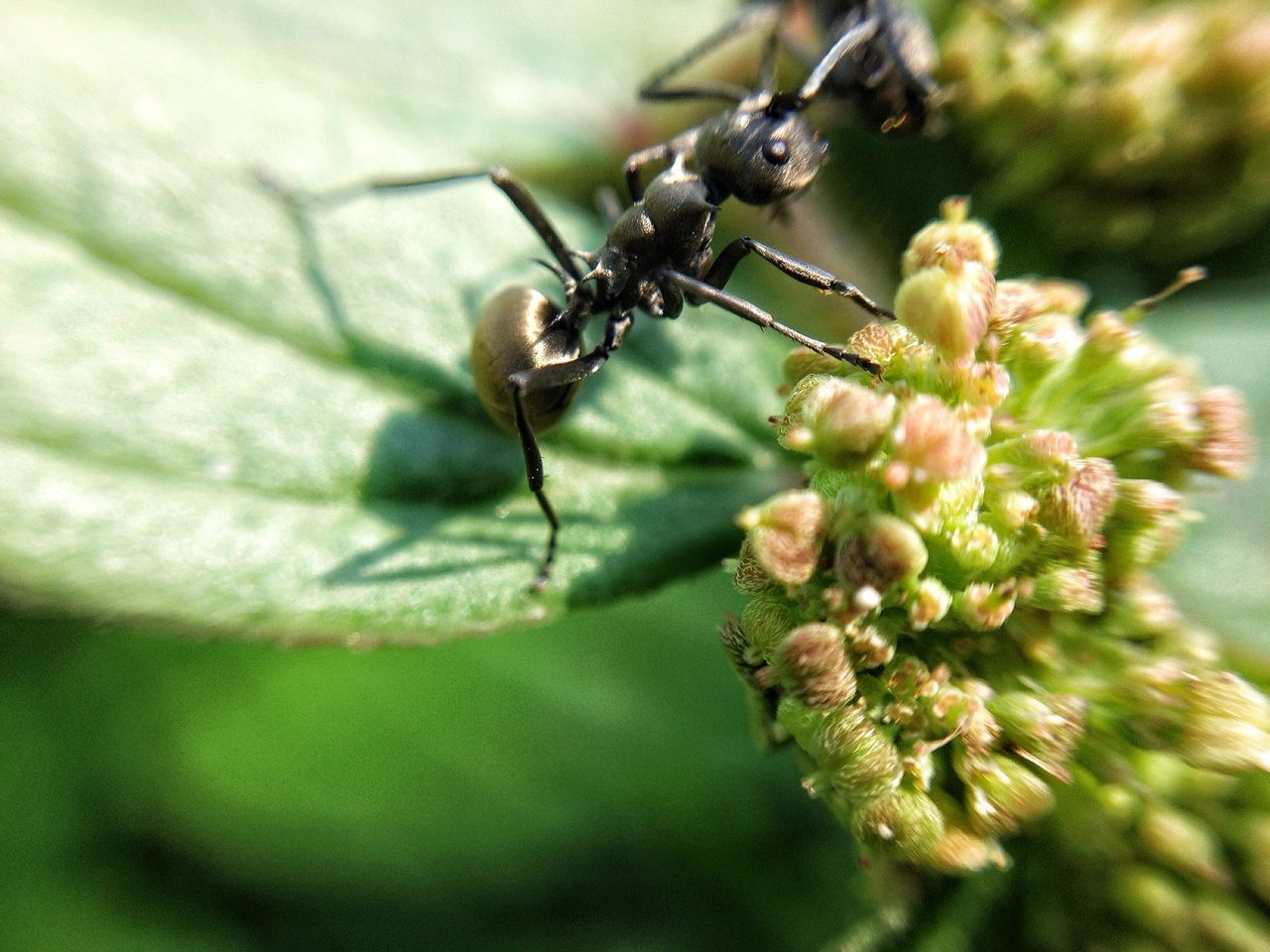 Black ant Black Ant Insect Animal Themes Close-up Nature Animals In The Wild No People Leaf Outdoors Day Macro Macro Photography Semut Hitam Semut
