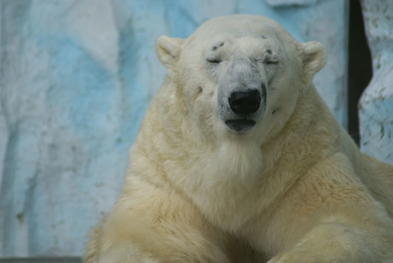 Beautiful stock photos of polar bear, Animal Themes, Animals In Captivity, Animals In The Wild, Day