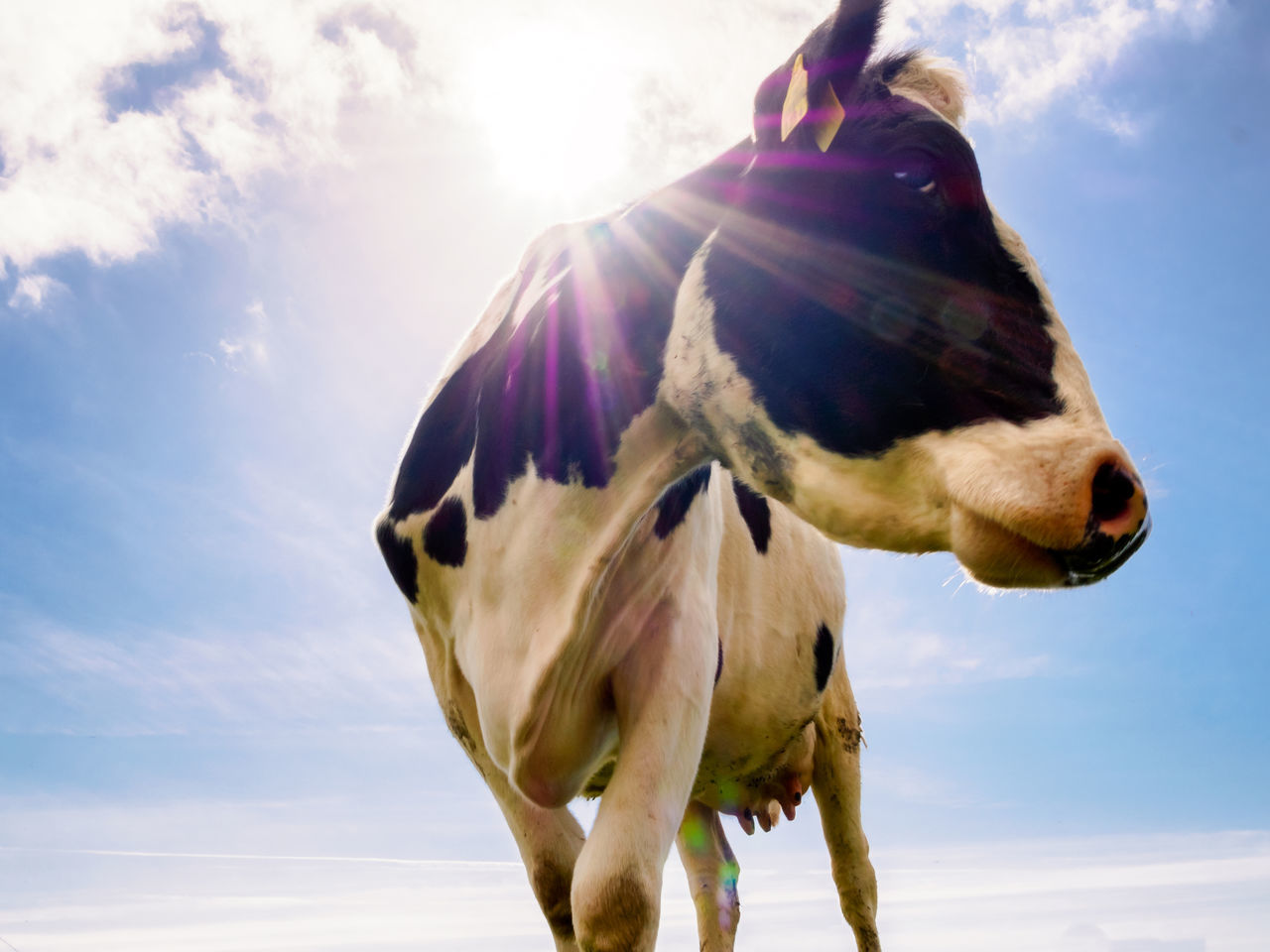 Black & White Beauty 🐮 Agriculture Animal Themes Black & White Bovine Close-up Cloud - Sky Cow Day Domestic Animals Low Angle View Nature No People One Animal Outdoors Sky Sunburst