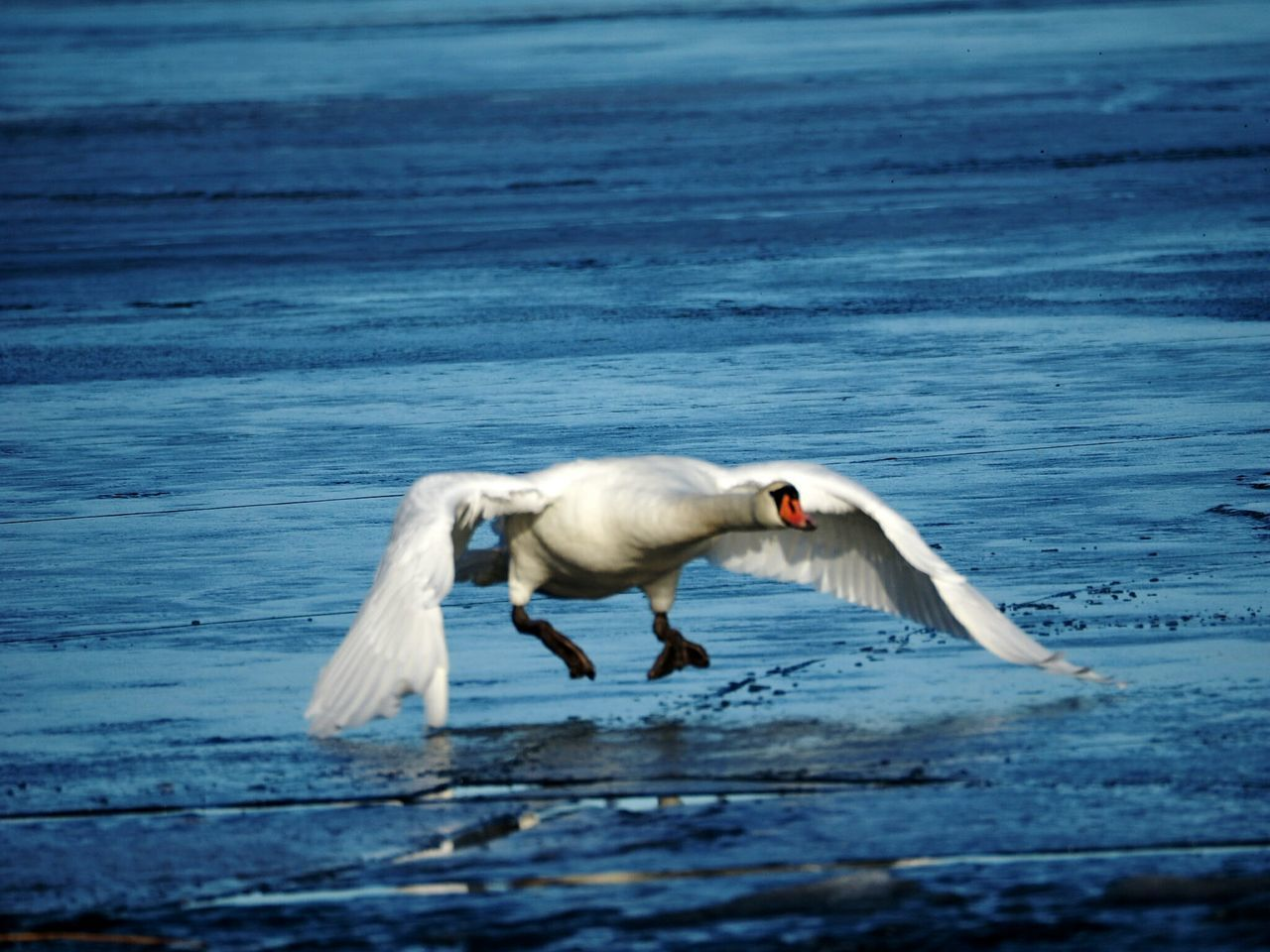Animal Themes One Animal Nature Beauty In Nature Spread Wings Nature Sunny Winter Day Motion Swan Winter Nature Outside Spreading Wings Frozen Sea Sea Bird Ice Beauty In Nature Beautiful Nature Animal Wildlife Animals In The Wild Cold Temperature