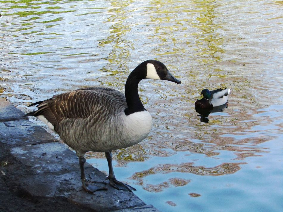 Animal Themes Beauty In Nature Bird Birds In The Wild Day Duck Dunham Massey Goose Nature No People Scenics Water