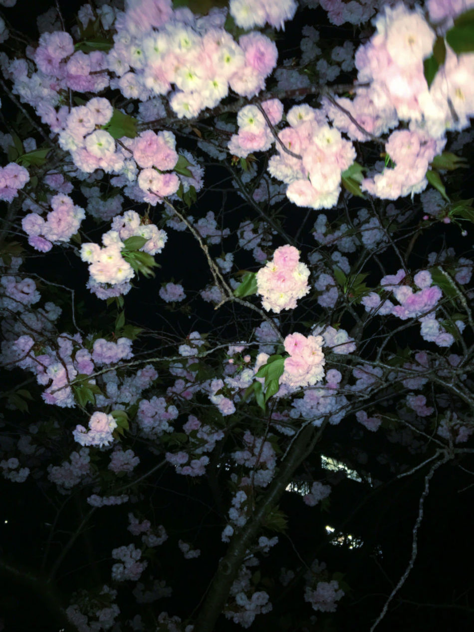 April Beauty In Nature Blooming Blossom Botany Close-up Day Flower Flower Head Fragility Freshness Growth Nature Night No People Outdoors Petal Pink Plant Sakura Springtime White
