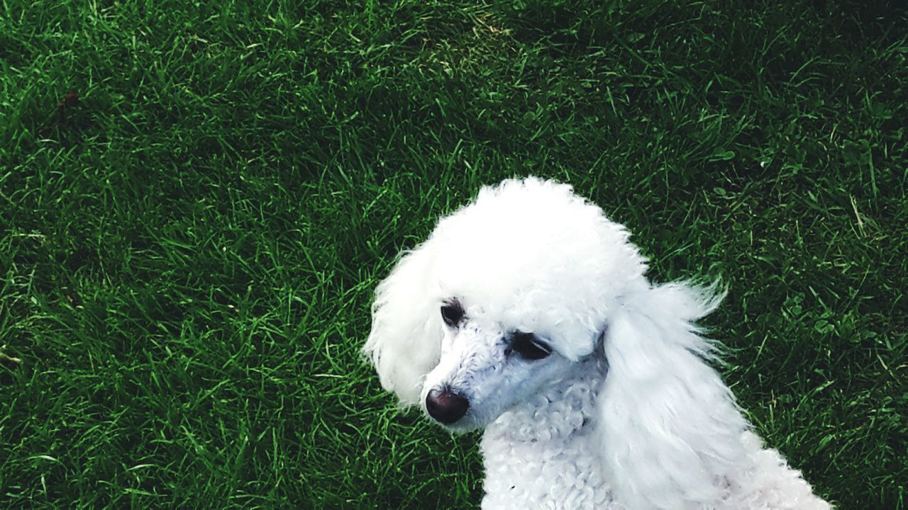 dog, grass, pets, one animal, domestic animals, animal themes, white color, green color, mammal, field, high angle view, day, outdoors, nature, no people, growth, west highland white terrier, close-up
