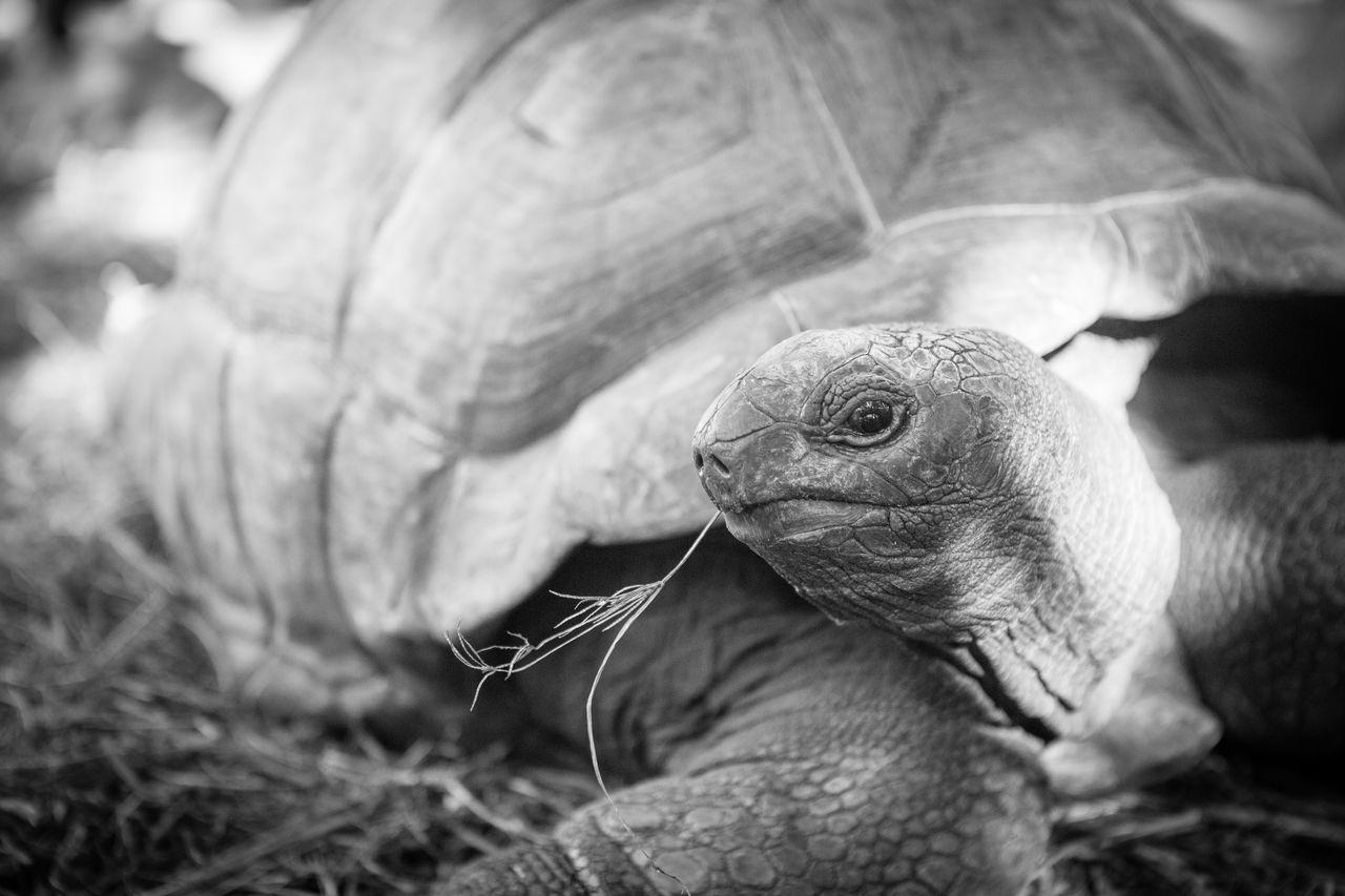 Animal Themes Animal Wildlife Animals In The Wild Close-up Day Giant Tortoise Iguana Nature No People One Animal Outdoors Reptile Tortoise