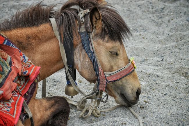 PangongTso Pangonglake Horse Photography  Herbivorous Leh Ladakh LoveWildlife Travel Photography Mountain Horse Naturephotography Animal Hair Animal Portrait Horse Power Horse Life
