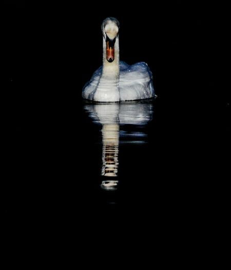 Majestic Reflection Black Background Night Outdoors Swan Swans On The Lake Lake Nature Animal Wildlife Animal Photography Portrait Animal Portrait Majestic Beauty Detail Southampton England Southampton Common Southampton EyeEmNewHere