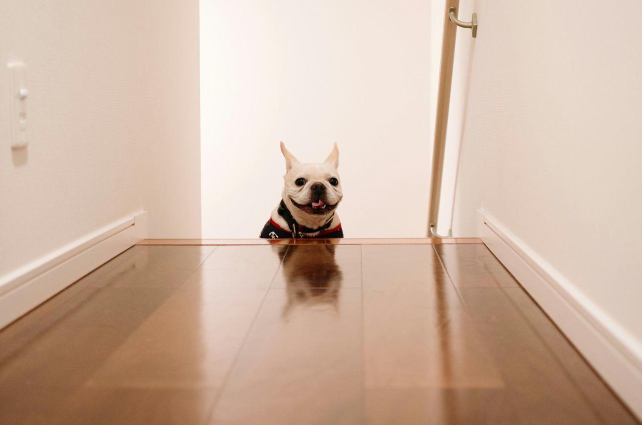 Beautiful stock photos of french bulldog, Animal Themes, Day, Dog, Domestic Animals