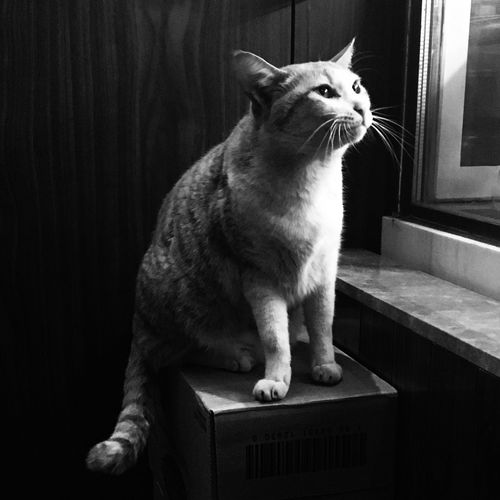 Blackandwhite Blackandwhite Photography Monochrome Portrait Animal Themes Animal Photography Pose Cat Still Anticipation Cute Cute Cat.  Showcase March Nightphotography Light In The Darkness Hair Staring Low Key Q is for Quiet & Quick Lookingup The Portraitist - 2016 EyeEm Awards