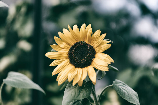 In my garden Blomma Bohuslän Enjoying Life EyeEm Flower Eyeem Sweden Flower FUJIFILM X-T2 Fujifim Fujinon Garden Gröna Fingrar Gul Hemma Bäst In Bloom Kungshamn Plant Single Flower Solros Sunflower Taking Photos Trädgården Vintage XF56mmAPD Xt2 Yellow