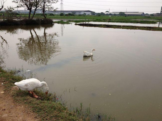 Angsa putih berenang Angsa Goose Swimming Animal Animal_collection Animal Themes Pets Water