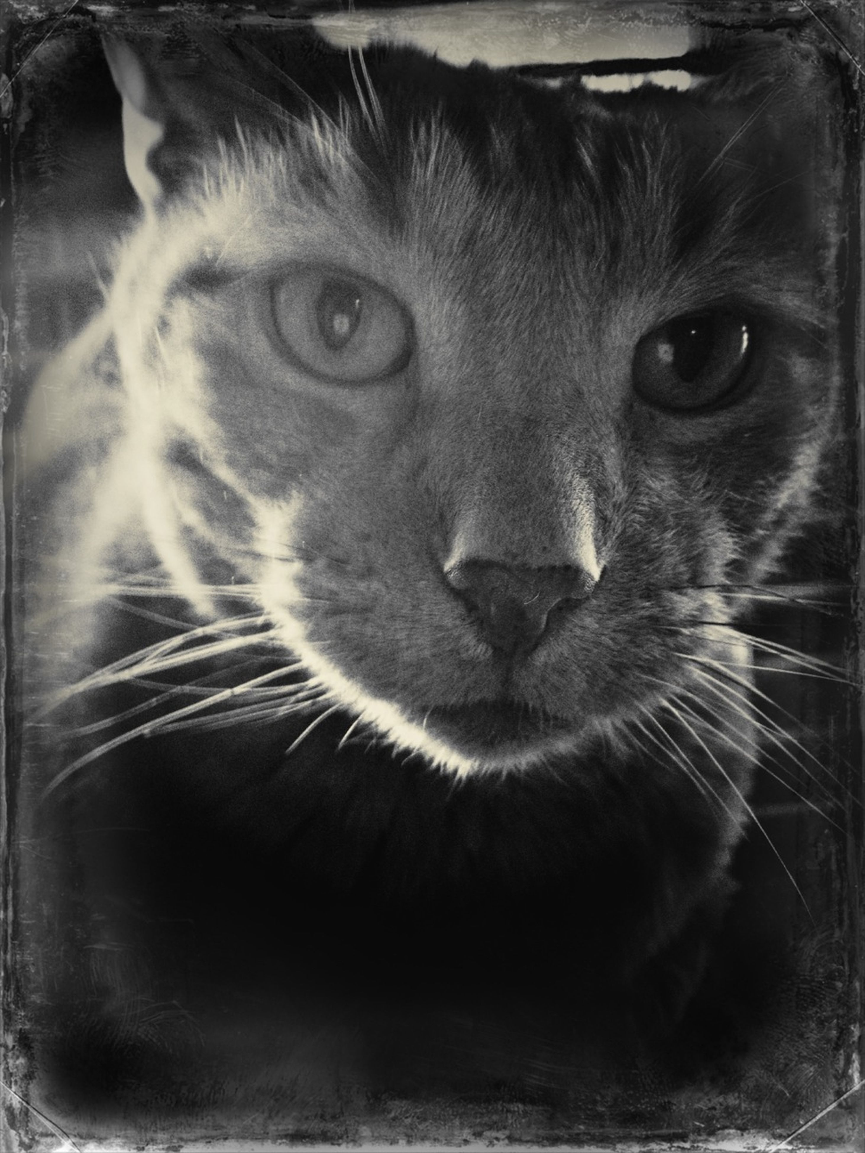 one animal, animal themes, pets, domestic animals, domestic cat, mammal, cat, whisker, feline, portrait, close-up, animal head, looking at camera, indoors, animal eye, staring, animal body part, focus on foreground, alertness