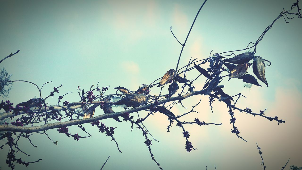nature, branch, no people, outdoors, beauty in nature, day, tree, low angle view, plant, dried plant, flower, sky, fragility, close-up