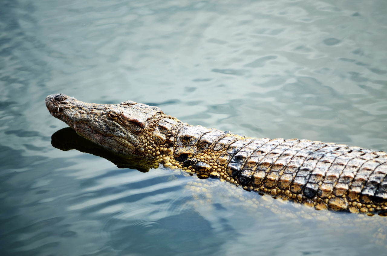 Beautiful stock photos of crocodile, Animal Scale, Animal Themes, Animal Wildlife, Animals In The Wild