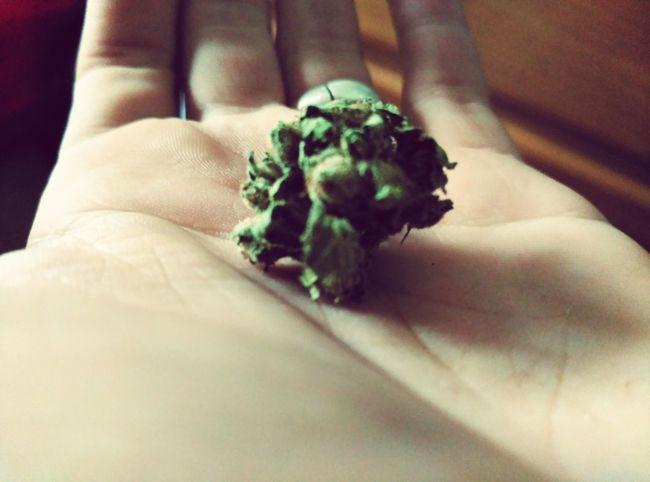 Tuja Weed Life Smoke Weed SMOKE WEED EVERYDAY Ganja Yumas