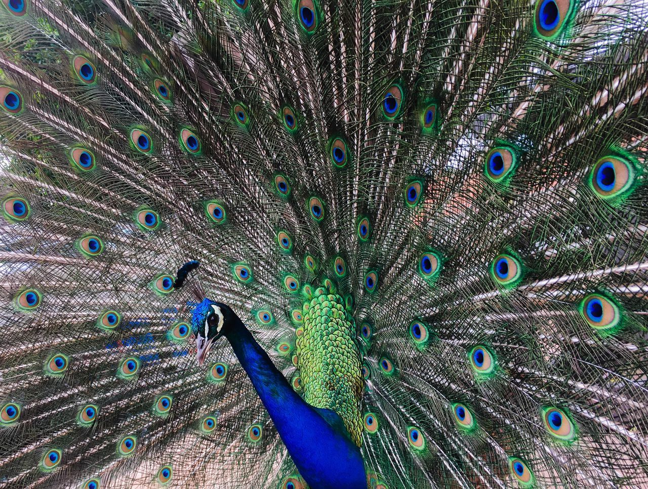 Peacock Peacock Feather Peacock Feathers Peacock Colors Peacock Blue Beauty In Nature
