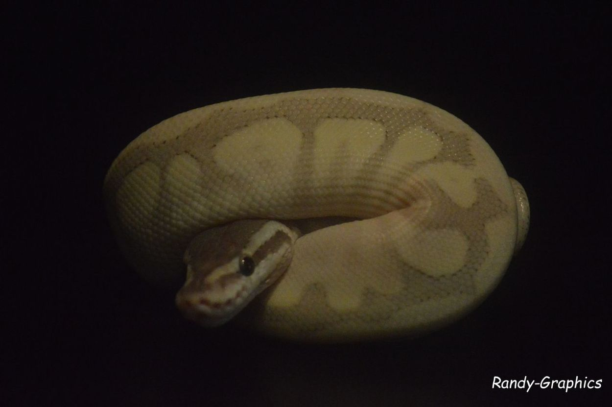 Animal Themes Black Background Close-up No People One Animal Profile Pythonregius Snake Zoology