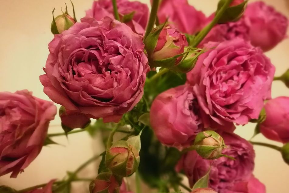 Fragility Rose - Flower Beauty In NatureRose Flower Rose Collection Flower Photography Flowery Flower Collection Blooming Flower Petal Freshness EyeEm GalleryEnjoying Life HuaweiP9 Leica Lens EyeEm Hong Kong ASIA Art Is Everywhere