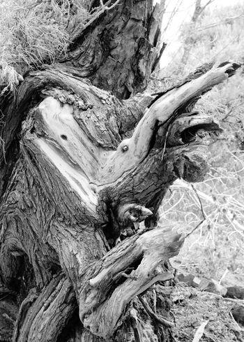 Nature Outdoors Tree Trunk Tree No People Beauty In Nature Scenics Dead Tree Bird Strange Black And White Friday Black And White Friday