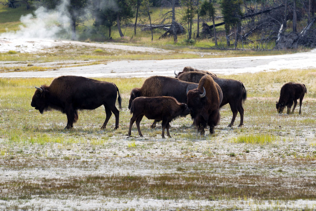 Herd of Bison American Bison Animal Themes Animal Wildlife Animals In The Wild Beauty In Nature Bison Buffalo Day Field Grass Mammal Nature No People Outdoors Tree