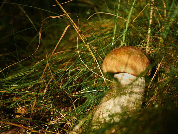 Boletus reticulatus Beauty In Nature Boletus Reticulatus Day Dirty Fragility Freshness Fungus Grass Green Color Growing Growth Messy Mushroom Nature Summer Cep Surrounding Tranquility Wilderness
