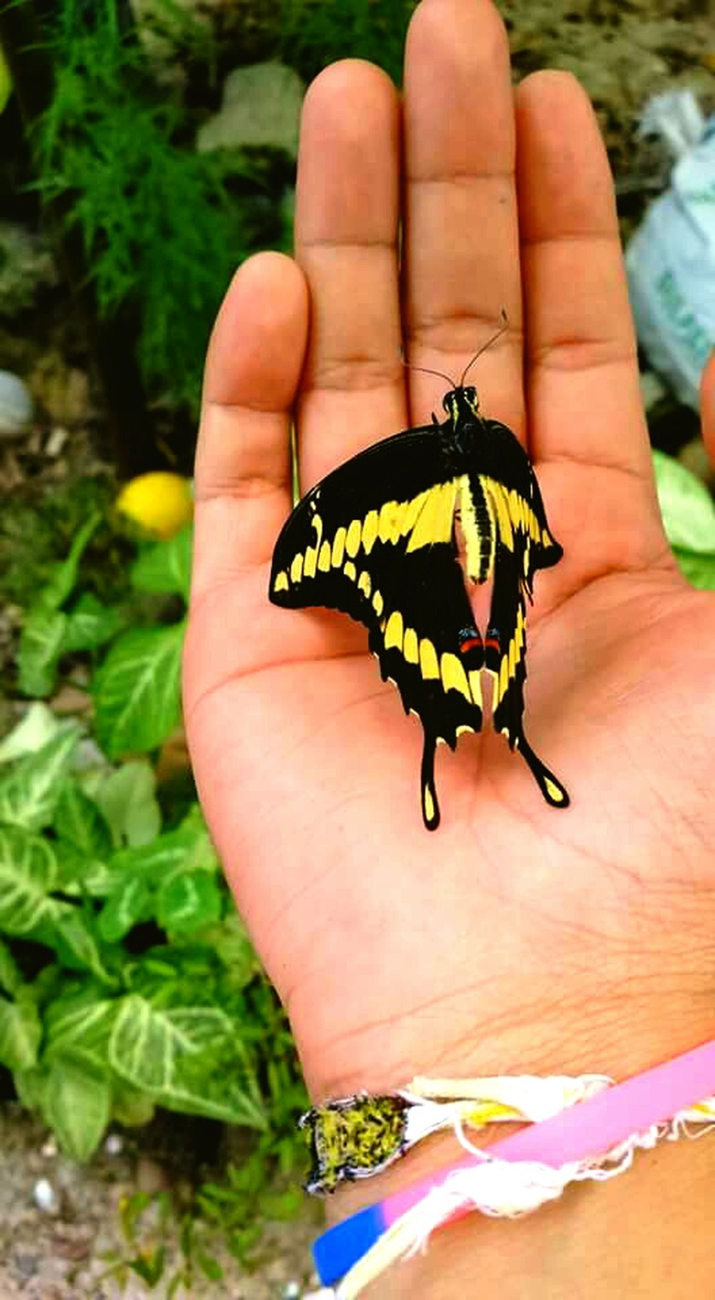 person, insect, part of, one animal, animal themes, animals in the wild, human finger, wildlife, butterfly - insect, close-up, holding, unrecognizable person, butterfly, personal perspective, cropped, focus on foreground, nature