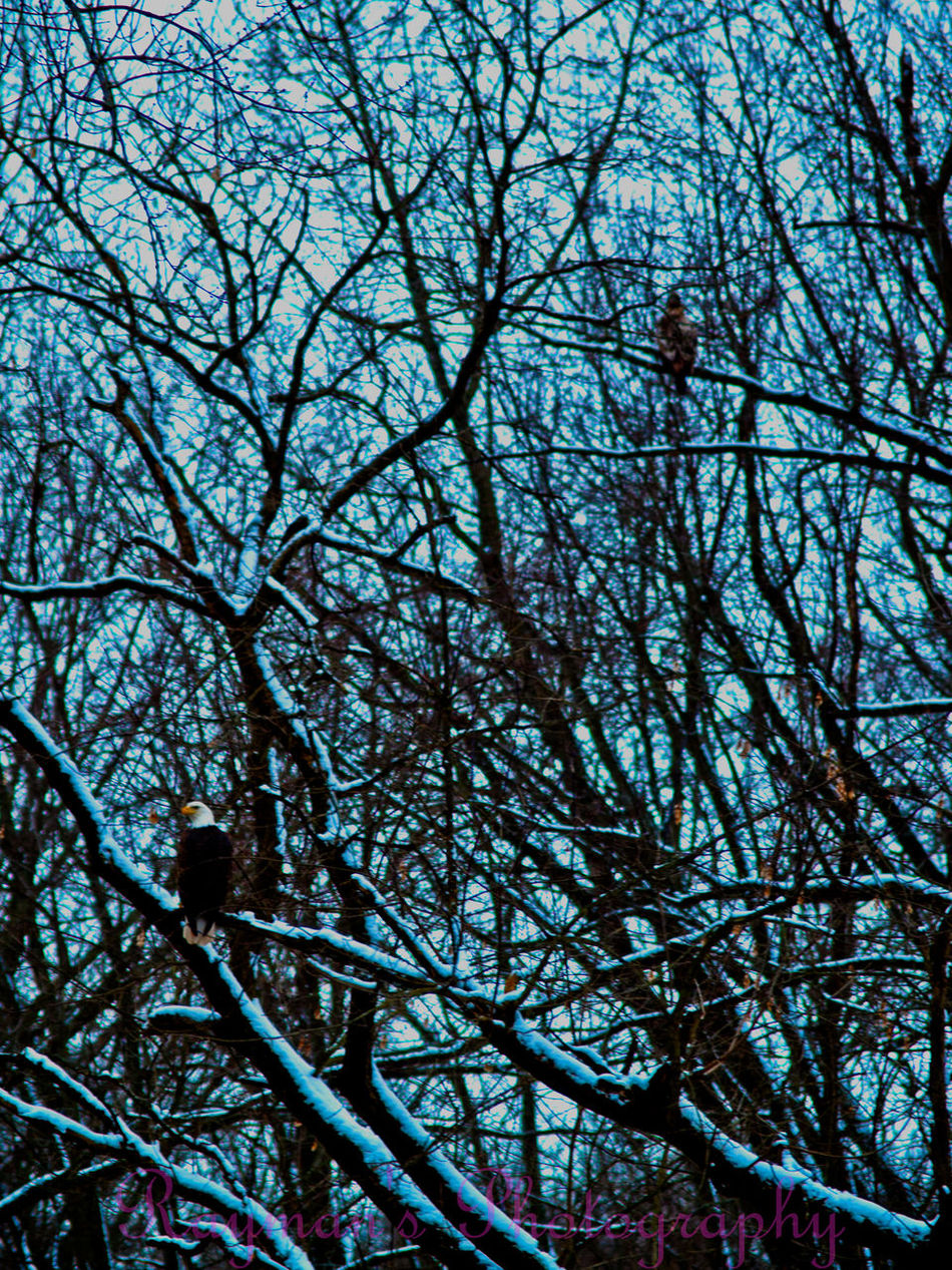 Down By The Creek Creek Naturelovers Connected With Nature Enjoying Nature Beauty In Nature Beautiful Nature Nature Winter Photo♡ Photography Photographer Photography Is My Escape From Reality! Nature Photography The Photographer Ilovephotography Olympus Getolympus Eagle Bald Eagle Birdsofprey Snow ❄ Creeks Hawk