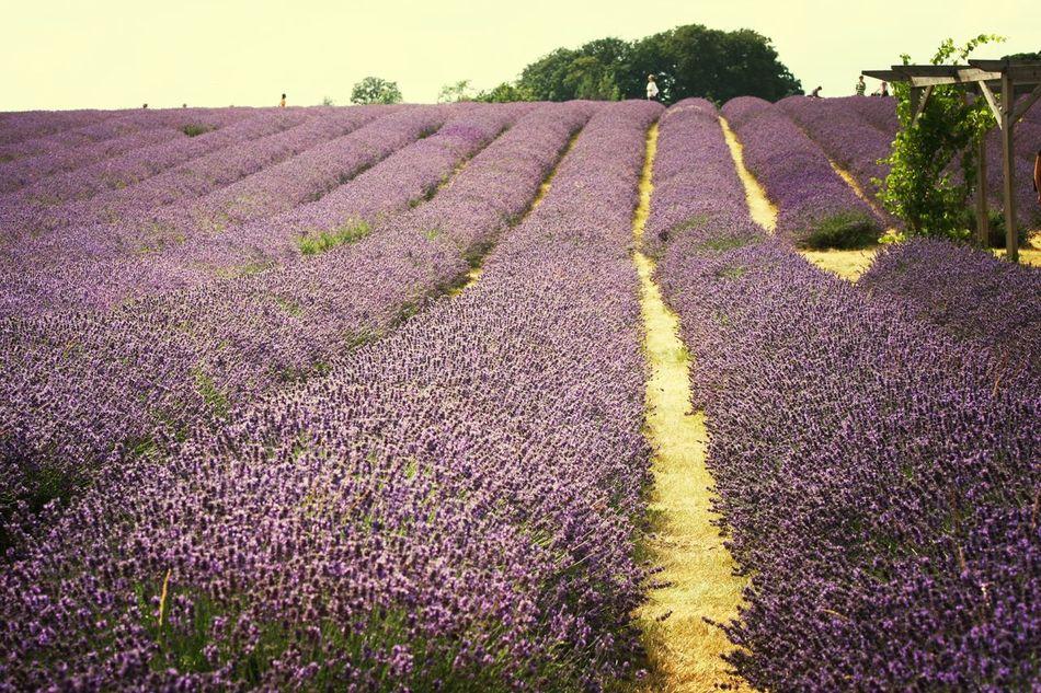 Amazing Place Lavenderfarm