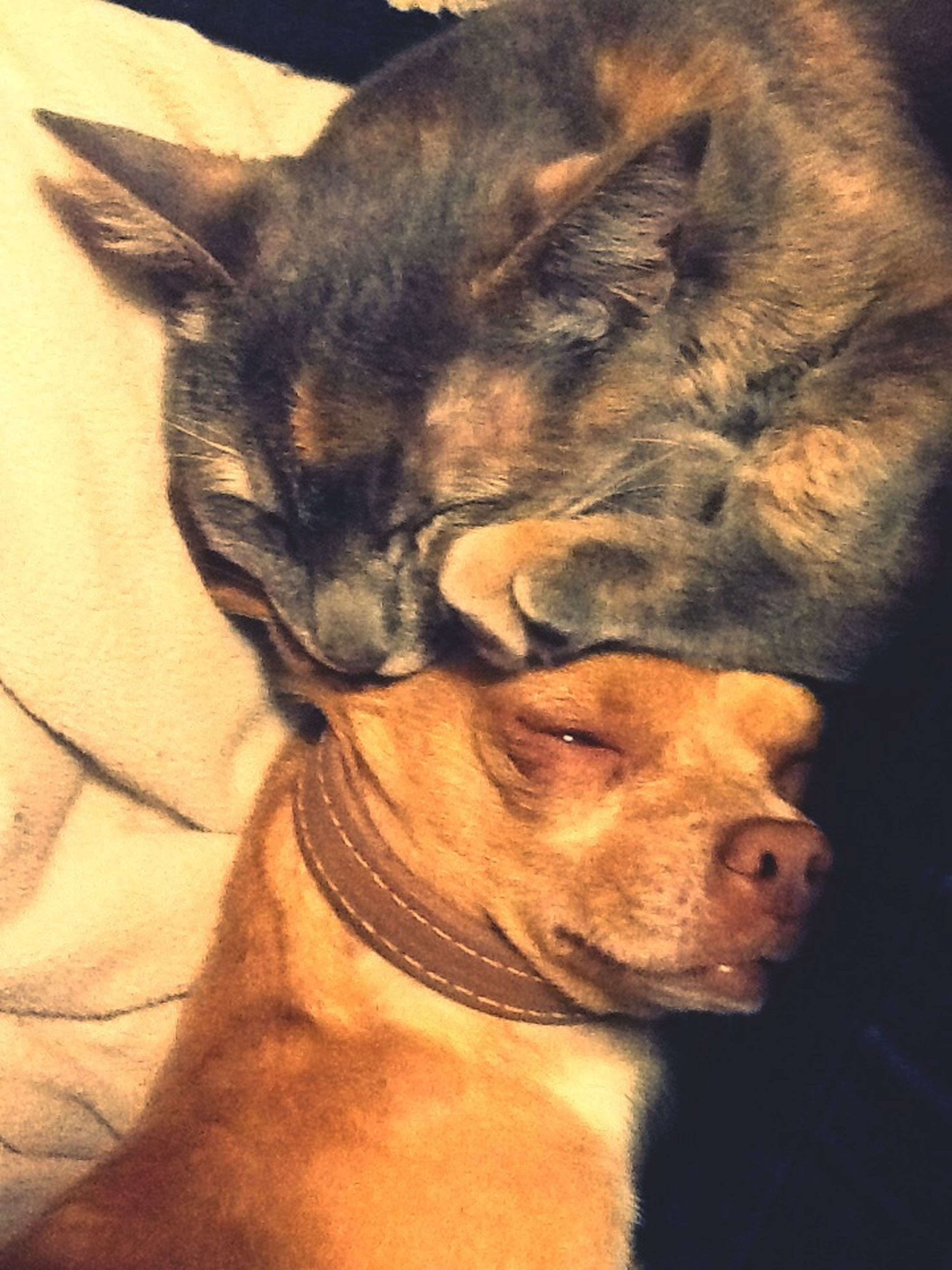 domestic animals, indoors, animal themes, one animal, mammal, pets, close-up, dog, relaxation, sleeping, animal head, home interior, lying down, eyes closed, resting, animal body part, part of, domestic cat, home, no people