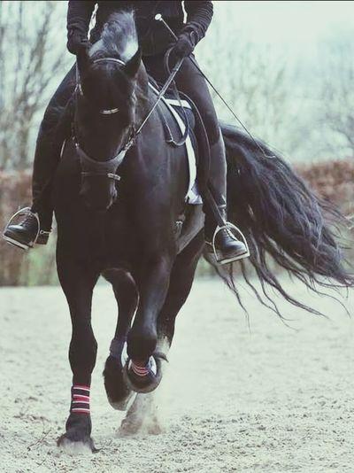 Friesian Fryslan Boppe Horse