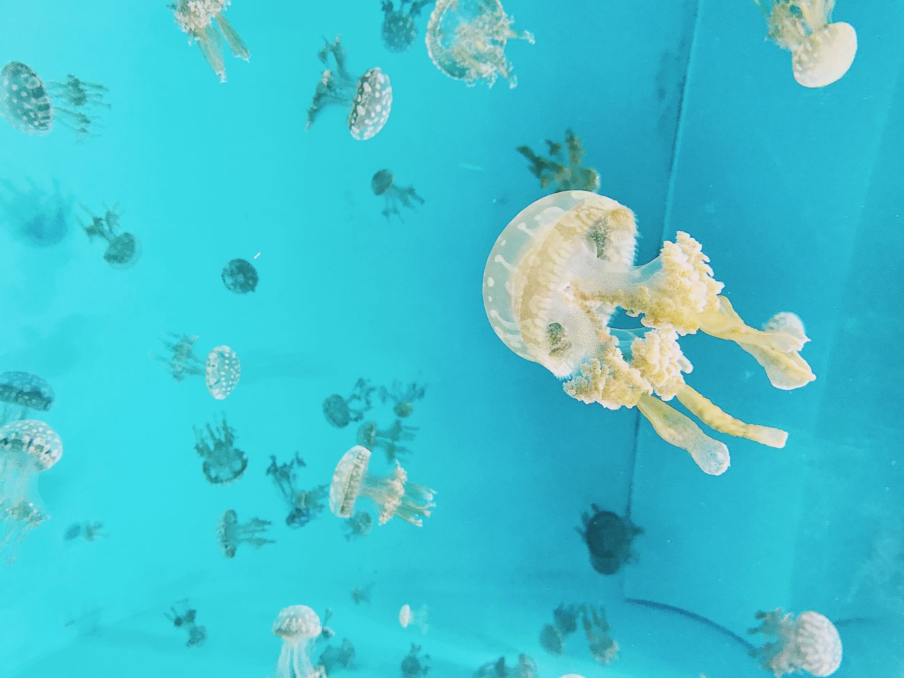 Jellyfish No. 4 Jellyfish Underwater Sea Life Water Swimming No People UnderSea Sea Blue Animals In The Wild Floating In Water Animal Themes Close-up Nature Beauty In Nature Day Aquarium