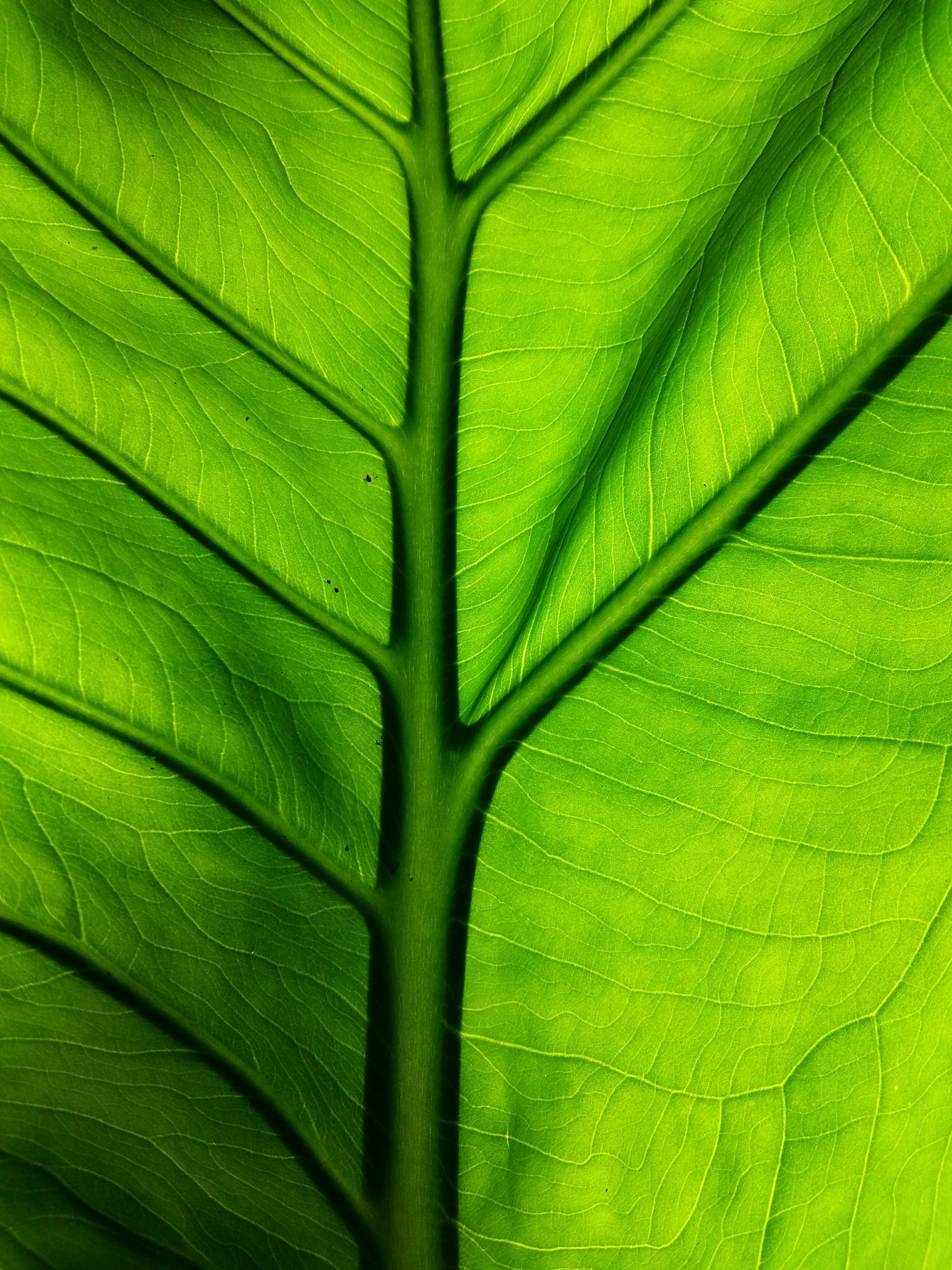 green color, full frame, backgrounds, leaf, leaf vein, close-up, pattern, textured, green, growth, natural pattern, extreme close-up, detail, macro, nature, no people, plant, indoors, day, abstract