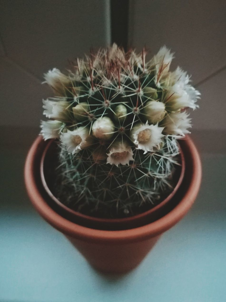 Cactus Thorn Potted Plant Growth Plant Close-up Indoors  No People Spiked Directly Above Table Nature Needle - Plant Part Day Flower Freshness Flower Head EyeEmNewHere EyeEm Diversity Art Is Everywhere Green EyeEm Best Shots
