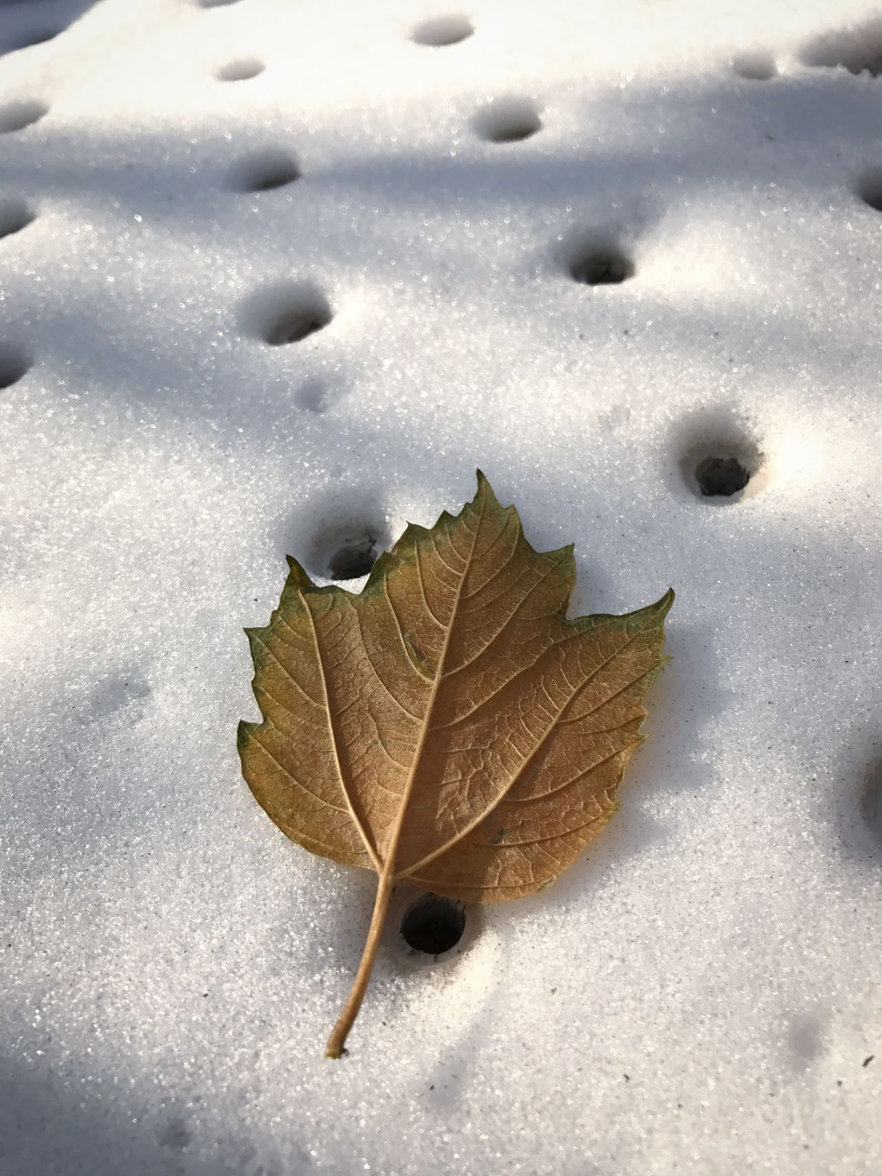 Cold Temperature Snow Day Close-up White Color Leaf