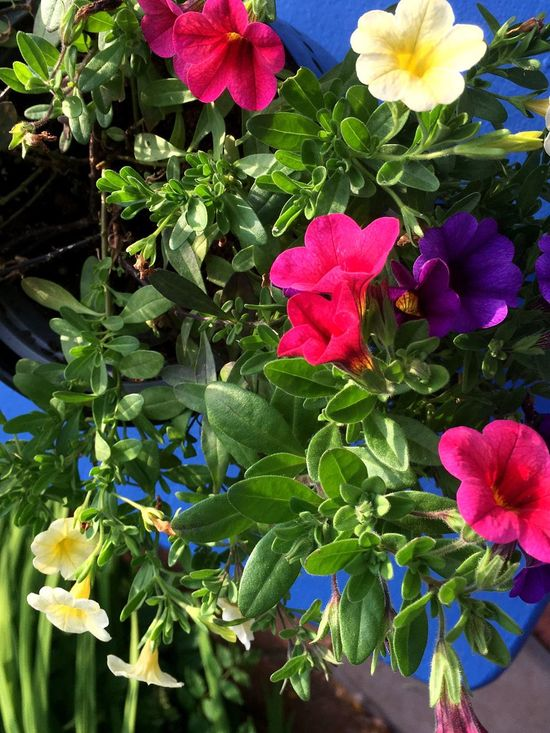Petunias Hanging Multi Colored Trailing Plant Flowering Plant Living Organism Vertical Colour Image Nobody Hanging Basket Vibrant Colors Flowers Annuals Botanic