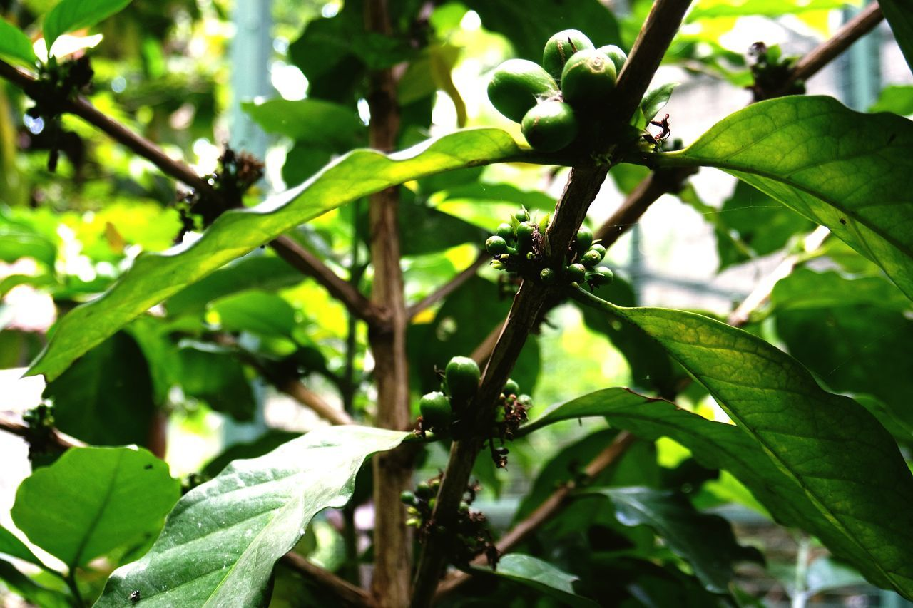 Nature Green Color Tree Growth Nature Green Color Leaf Close-up Focus On Foreground No People Low Angle View Tree Outdoors Branch Fruit Beauty In Nature Food And Drink Freshness Day Horizontal Coffee Luwak Luwakcoffee Kopi Beans