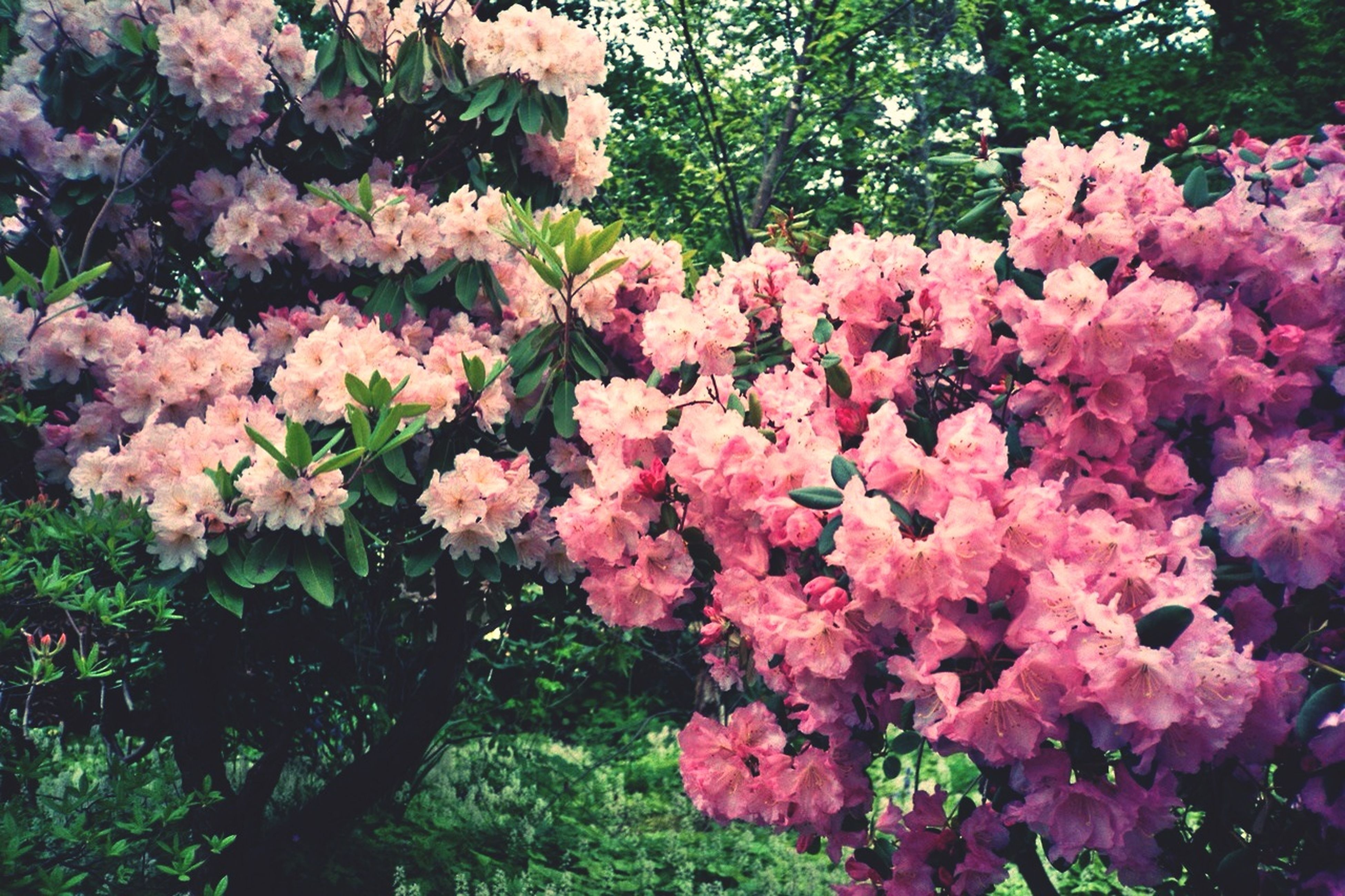 flower, growth, freshness, pink color, tree, beauty in nature, fragility, branch, nature, blossom, blooming, in bloom, petal, springtime, leaf, pink, plant, park - man made space, outdoors, botany