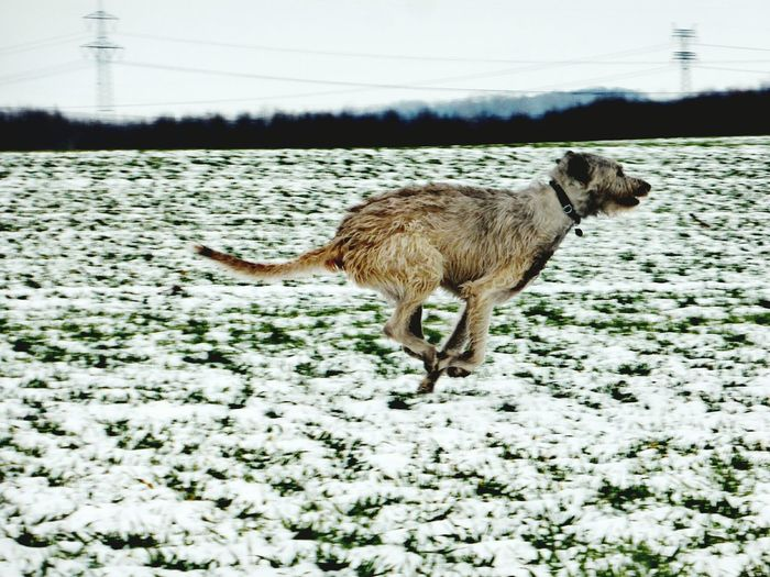 Winter Animal Themes Snow Cold Temperature Weather Outdoors Field Landscape Winter Wonderland How Is The Weather Today? It Is Cold Outside Bokeh Winter 2017 January 2017 The Places I've Been Today Cearnaigh Dogslife Dogwalk Irish Wolfhound Dogs Of Winter Dog Of The Day Dogs Of EyeEm Running