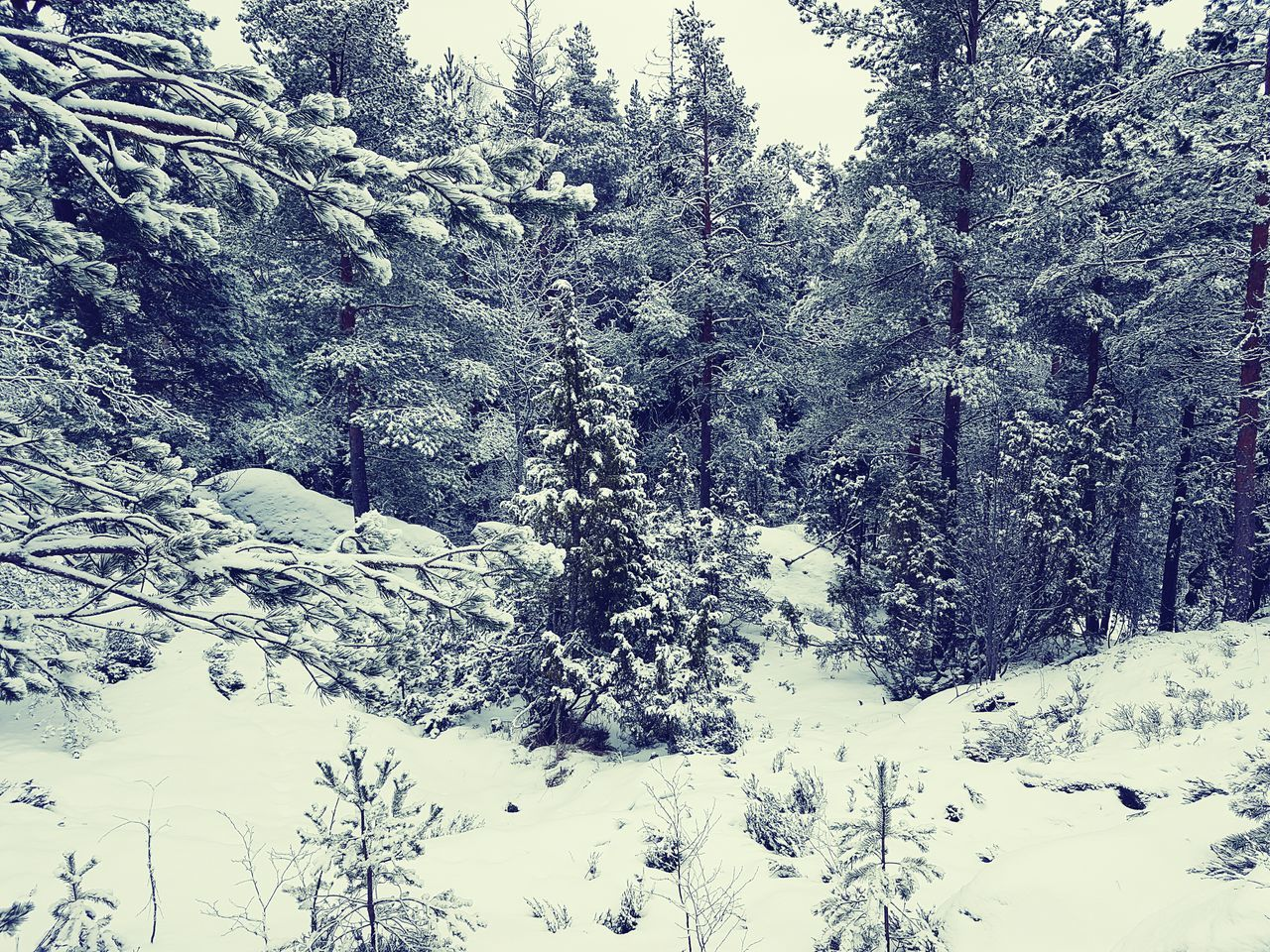Snowy forest Quiet Moments Nature Outdoors Winterday ❄ Snow Winter Trees Winterscapes Winter Finland No People White Threes