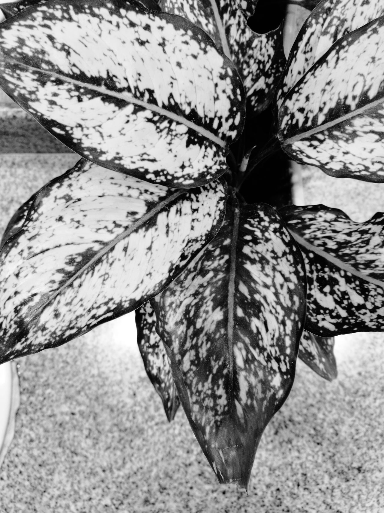 Nature No People Outdoors Close-up Leaf Day Fragility Black & White Tree EyeEm Thailand Indoors  Growth EyeEm Best Shots Freshness Plant EyeEmBestPics Beauty In Nature Indoors  Blackandwhite Black And White Indoors  Nature